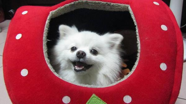 Pes v boudičce