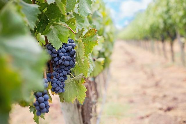 víno na vinici